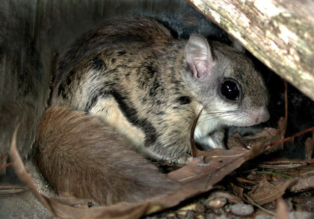 Boreal-Forest-Mammals-Sciuridae-Northern-Flying-Squirrel