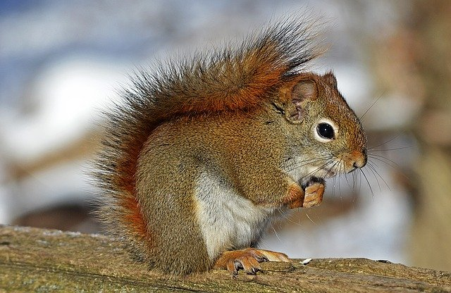 Boreal-Forest-Mammals-Sciuridae-Red-Squirrel