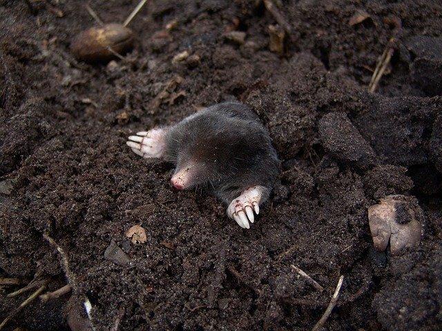 Boreal-Forest-Mammals-Talipidae-European-Mole