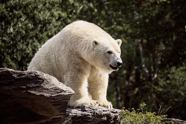 Boreal-Forest-Mammals-Ursidae-Polar-Bears