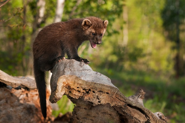 Boreal Forest Mammals - carnivores - fisher