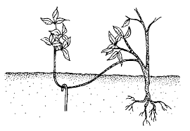 Start-a-Plant-Nursery-Propagation-by-Ground-Layering
