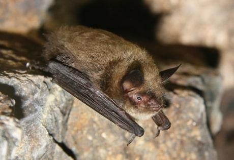 boreal-forest-mammals-Chiroptera-Little-Brown-Bat-1