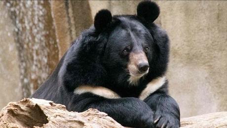 boreal-forest-mammals-Ursidae-Asiatic-Black-Bear