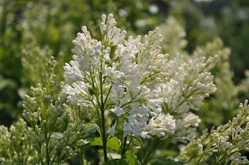 Agnes-Smith-Lilac-Syringa-x-prestoniae-'Agnes-Smith-zone-2-perennial-shrub