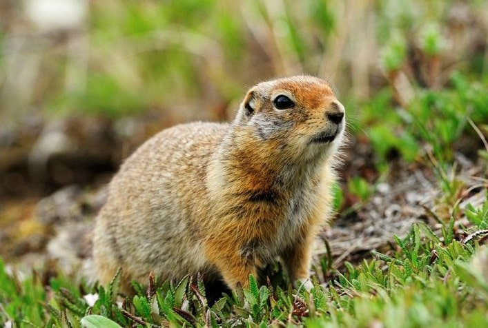 Arctic-Ground-Squirrel-min