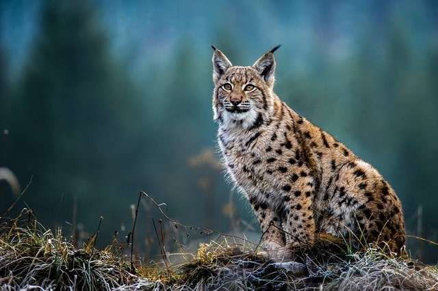 Boreal-Forest-Mammals-Fildae-Eurasian-Lynx-1
