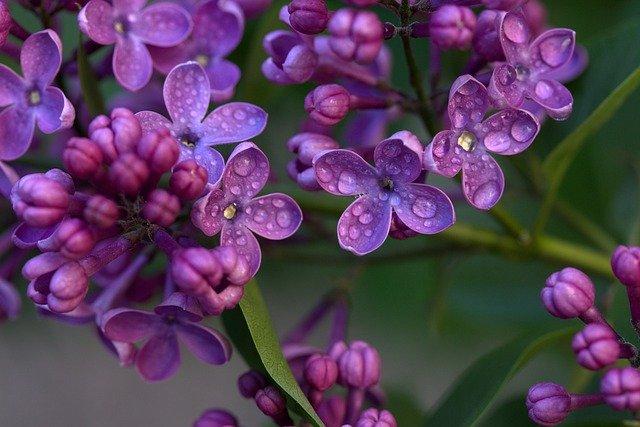 Common-lilac-Syringa-vulgaris-zone-2-perennial-shrub