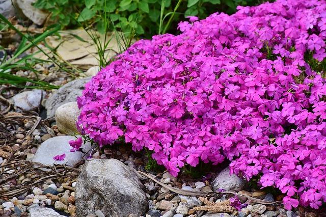 Creeping-Phlox-Phlox-subulata-Zone-2-perennial-shrub