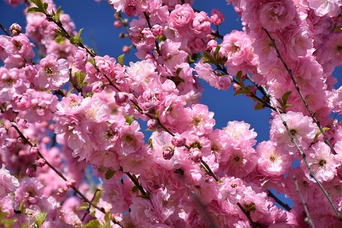 Double-Flowering-Plum-Prunus-triloba-Multiplex-zone-2-perennial-shrub
