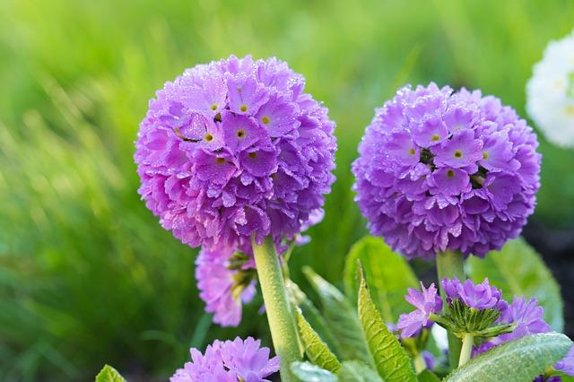 Drumstick-Primula-Primula-denticulata-Zone-2-perennial-shrub