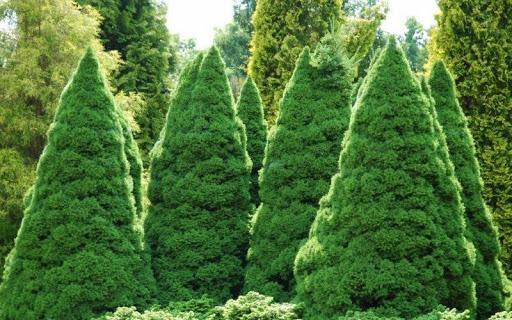Dwarf-Alberta-Spruce-Picea-glauca-conica-zone-2-shrubs