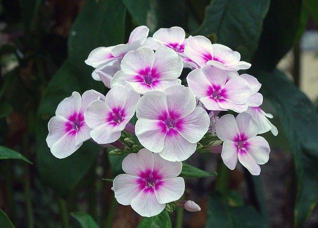 Garden-Phlox-Phlox-Paniculata-Zone-2-perennial-shrub