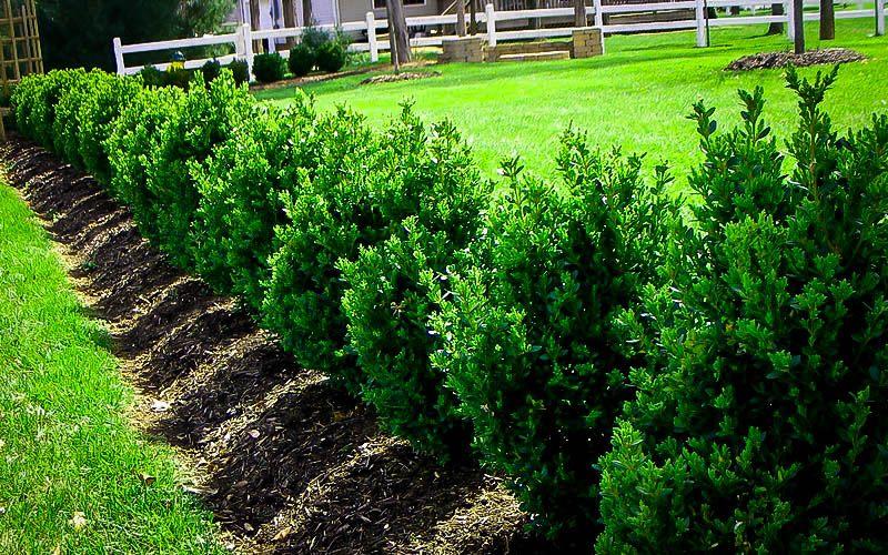 Green-mountain-boxwood-buxus-zone-2-perennial-shrub
