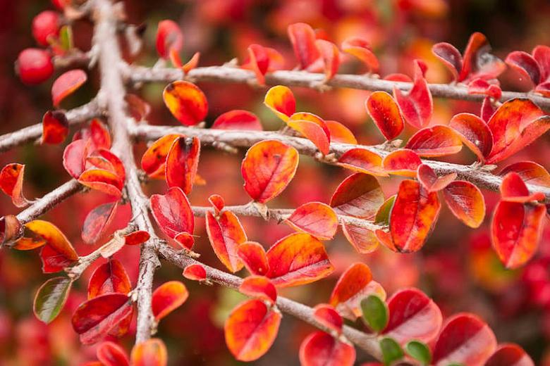 Hedge-cottoneaster-Cotoneaster-lucidus-zone-2-perennial-shrub