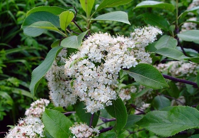 Highbush-cranberry-viburnum-trilobum-zone-2-perennial-shrub