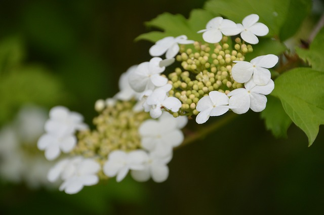 Highbush-cranberry-viburnum-trilobum-zone-2-commercial-plants