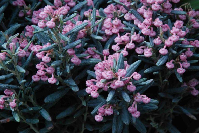 How to Propagate Bog Rosemary (Andromeda polifolia)