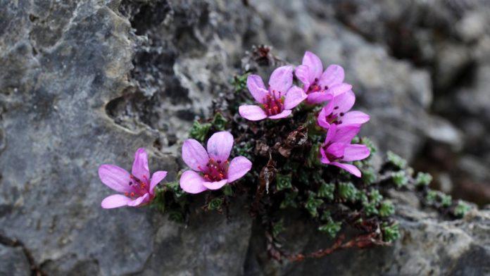 How-to-Propagate-Mountain-Saxifrage-saxifraga-oppositifolia (1)