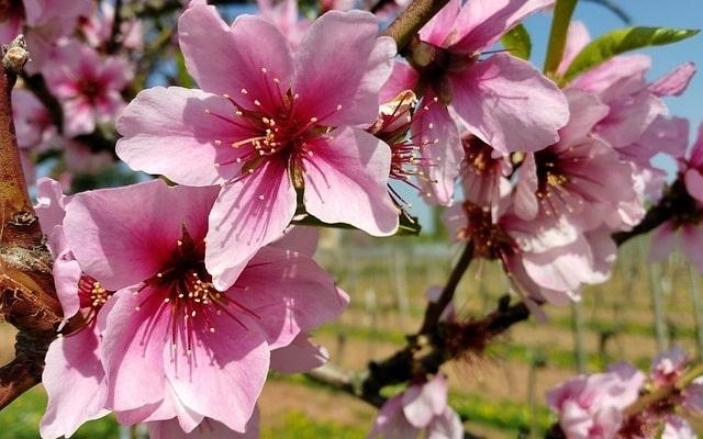 How-to-Propagate-Russian-Almon-Prunus-Tenella-2