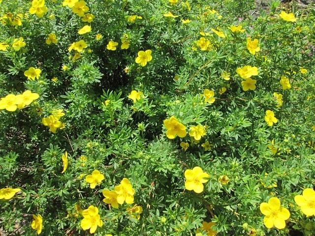 How to Propagate Shrubby Cinquefoil (Dasiphora fruticosa) zone 2 perennial shrub