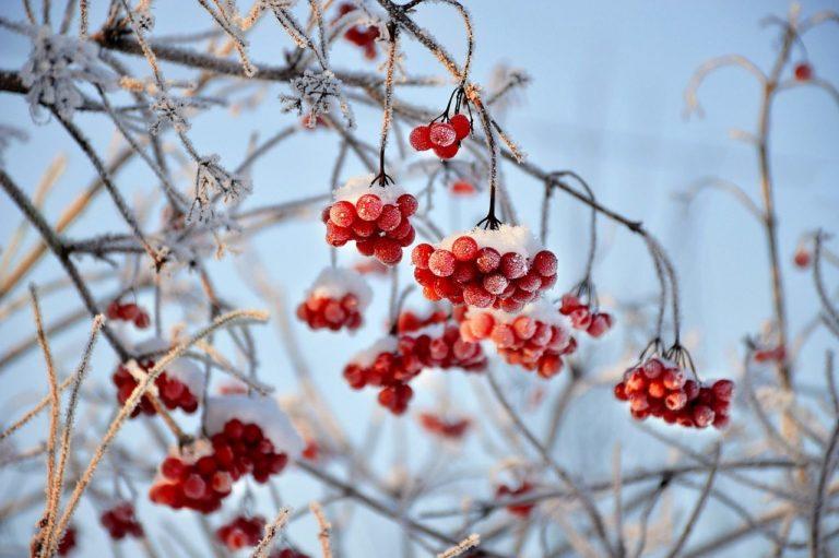 How to Propagate Highbush Cranberry (Viburnum trilobum)