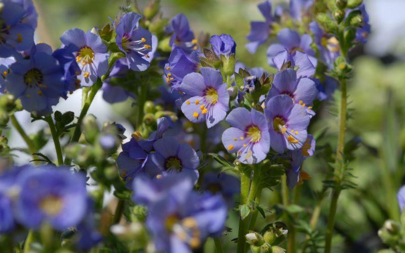 Jacobs-ladder-polemonium-boreale-zone-2-perennial-shrub