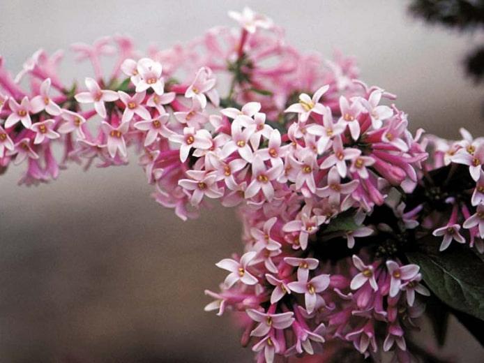 Pink-Lilac-Miss-Canadazone-2-perennial-shrub