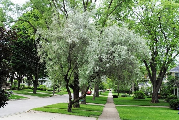 Hedge-cottoneaster-Cotoneaster-lucidus-zone-2-tree
