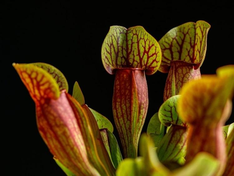 Sarracenia-Purpurea-Purple-Pitcher-Plant-Zone-2-perennial-shrub