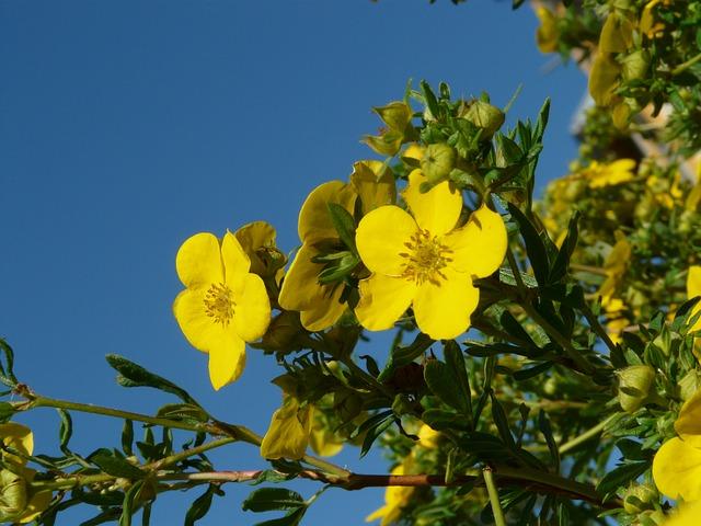 Shrubby-Cinqfoil-Dasiphora-fruticosa-zone-2-commercial-plant