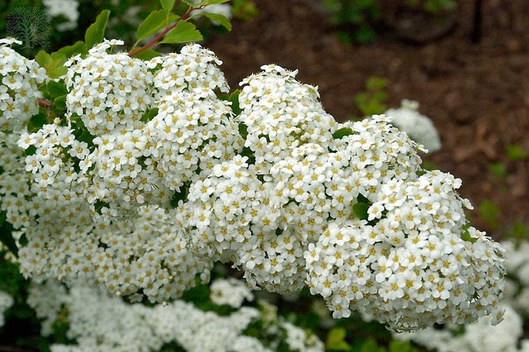 Three-Lobe-Spirea-Spiraea-trilobata-zone-2-perennial-shrub