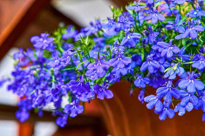 Trailing-Lobelia-Lobelia-erinus-zone-2-perennial-shrub