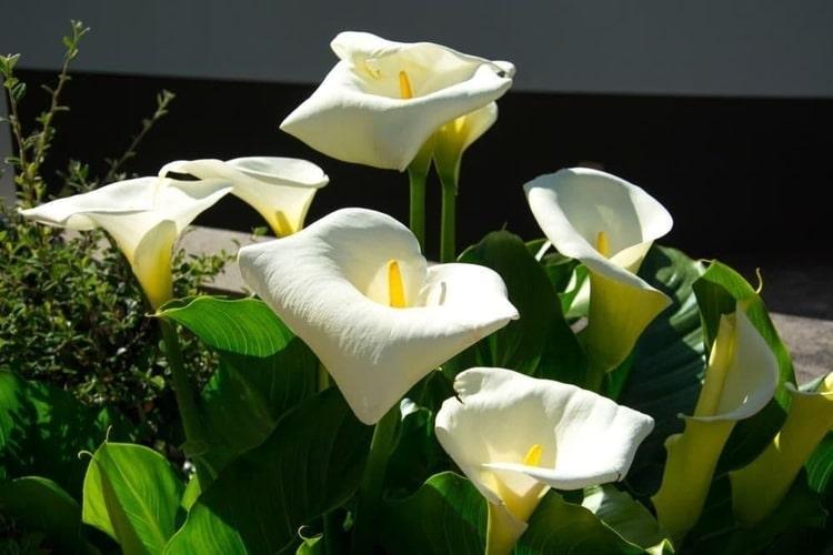 calla-palustris-water-arum-zone-2-perennial-shrub