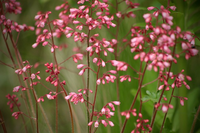coral-bells-heuchera-brandon-pink-zone-2-perennial-shrub