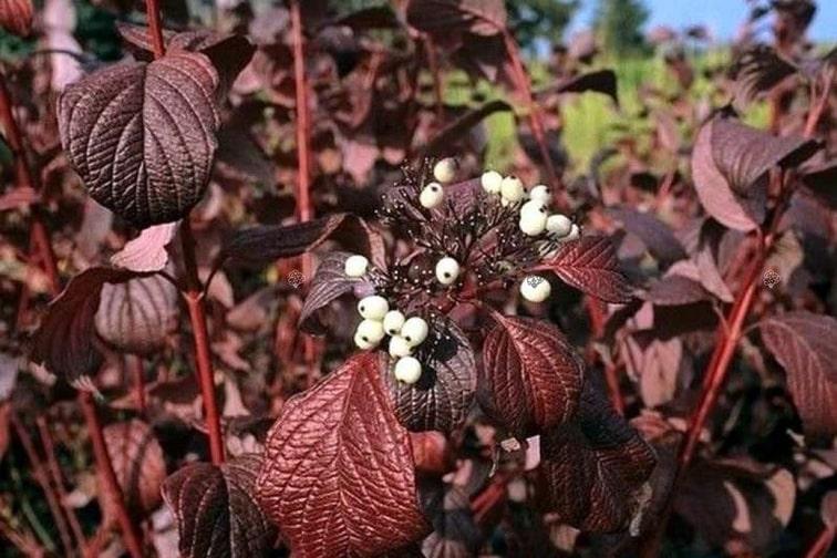 cornus-alba-siberian-pearls-zone-2-perennial-shrub