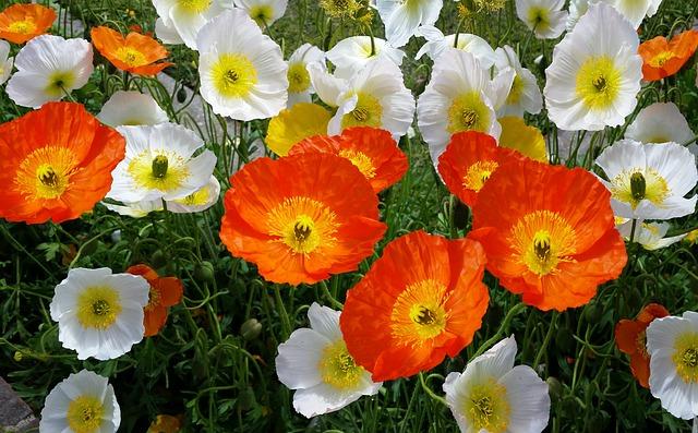iceland-poppies-Papaver-nudicaule-Zone-2-Perennial-shrub