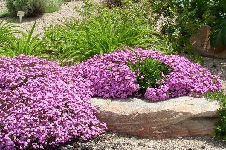 rock-soapwort-saponaria-ocymoides-zone-2-perennial-shrub