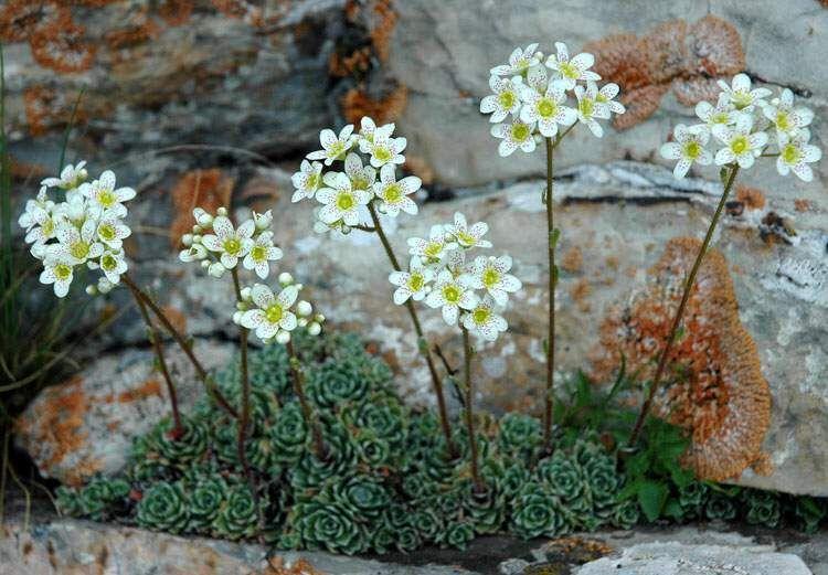 saxifraga-paniculata-zone-2-perennial-shrubs
