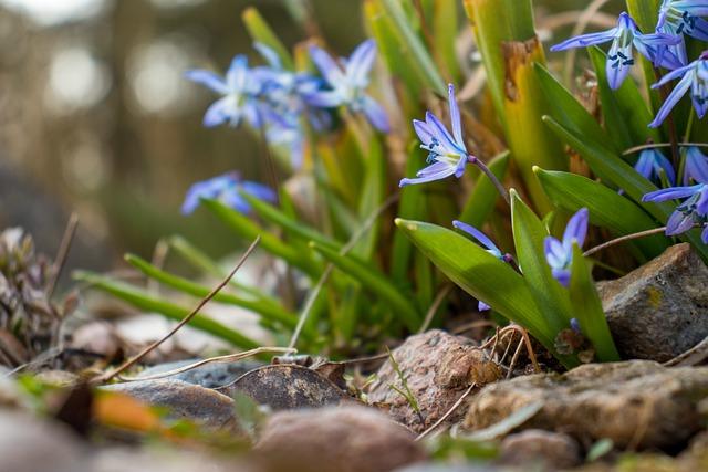 siberian-squill-scilla-siberica-zone-2-perennial-shrubs