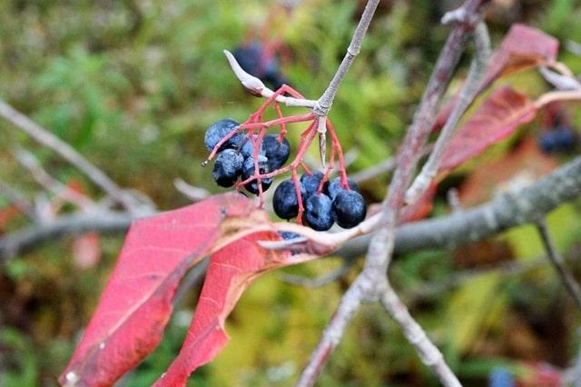 How to Propagate Nannyberry Viburnum Lentago fruit