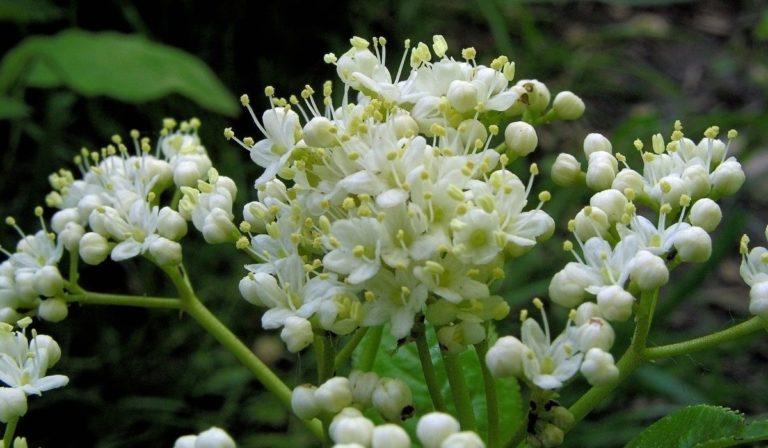 How to Propagate Nannyberry (Viburnum lentago)
