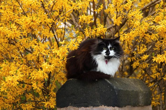 How to Propagate Northern Gold Forsythia (Forsythia ovata) cat
