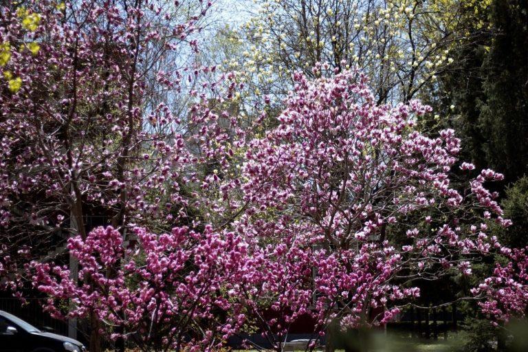 How to Propagate Double Flowering Plum (Prunus triloba 'multiplex)