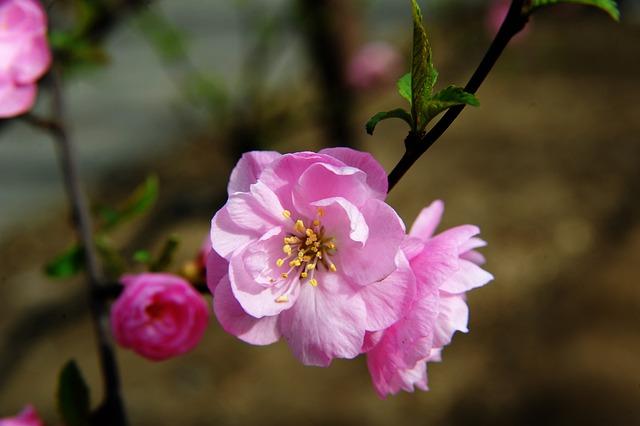 how to propagate double-flowering-plum-prunus-triloba-multiplex