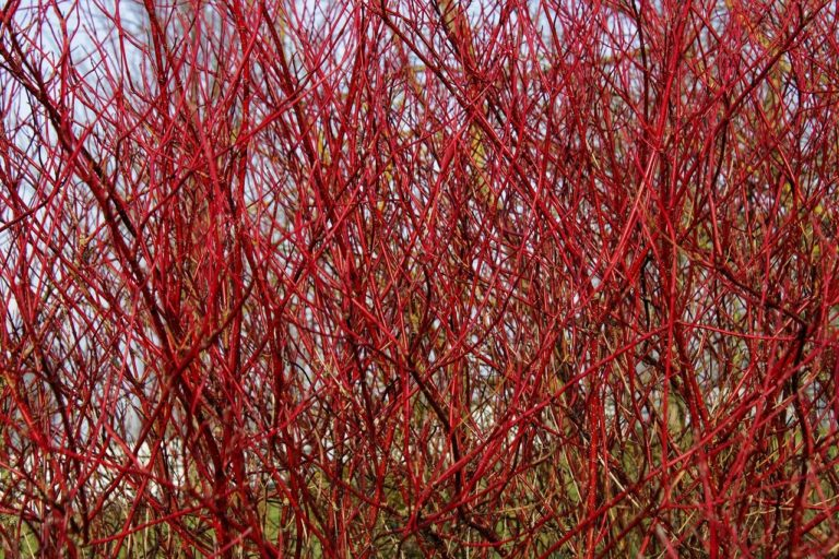How to Propagate Redosier Dogwood (Cornus sericea)