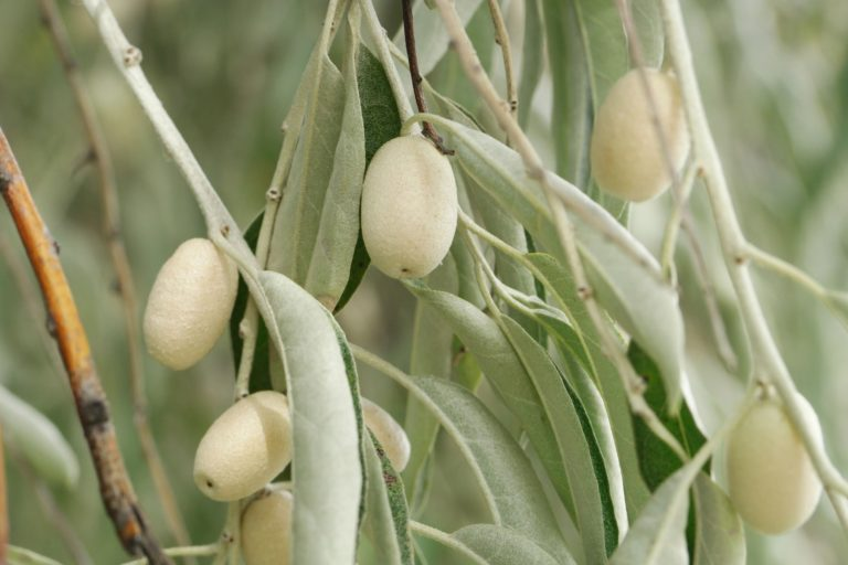 How to Propagate Russian Olive (Elaeagnus angustifolia)
