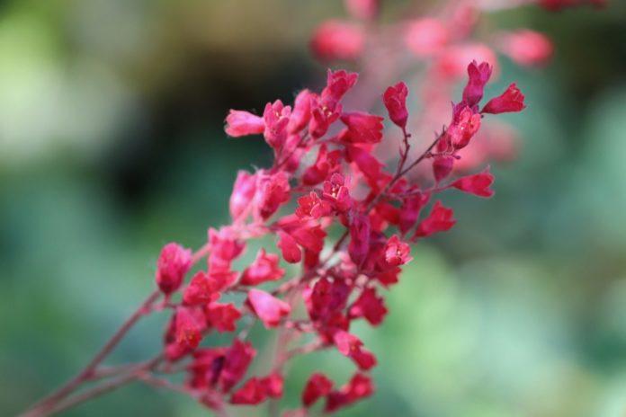 How to Propagate Coral Bells (Heuchera 'Brandon Pinks)