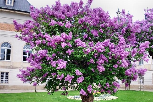 How to propagate Common Lilac (Syringa vulgaris) 4