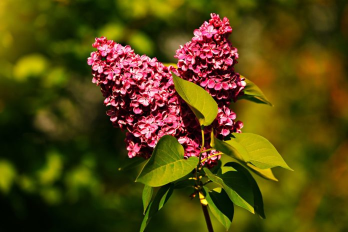 How to propagate Common Lilac (Syringa vulgaris)